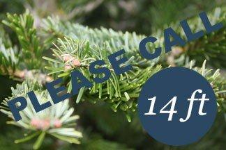14+ foot Premium Nordmann fir Christmas tree