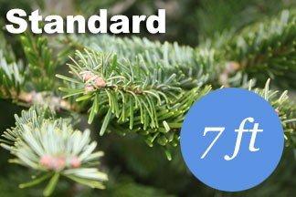 7 foot Standard Nordmann fir Christmas tree