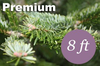 8+ foot Premium Nordmann Fir Christmas tree