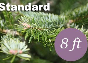 8+ foot Standard Nordmann Fir Christmas tree
